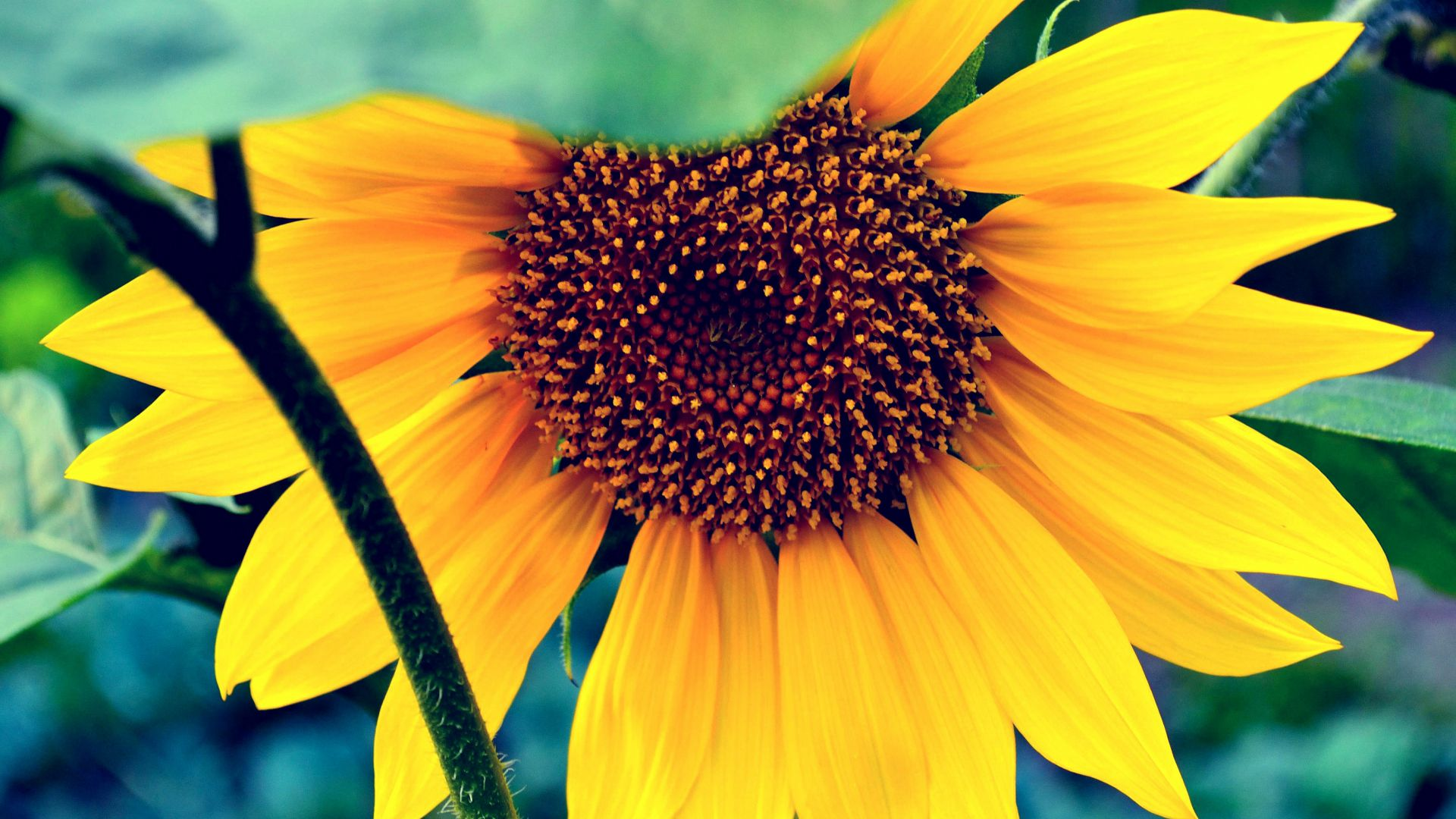 Sunflower, HD, 4k wallpaper, macro, flowers, yellow (horizontal)