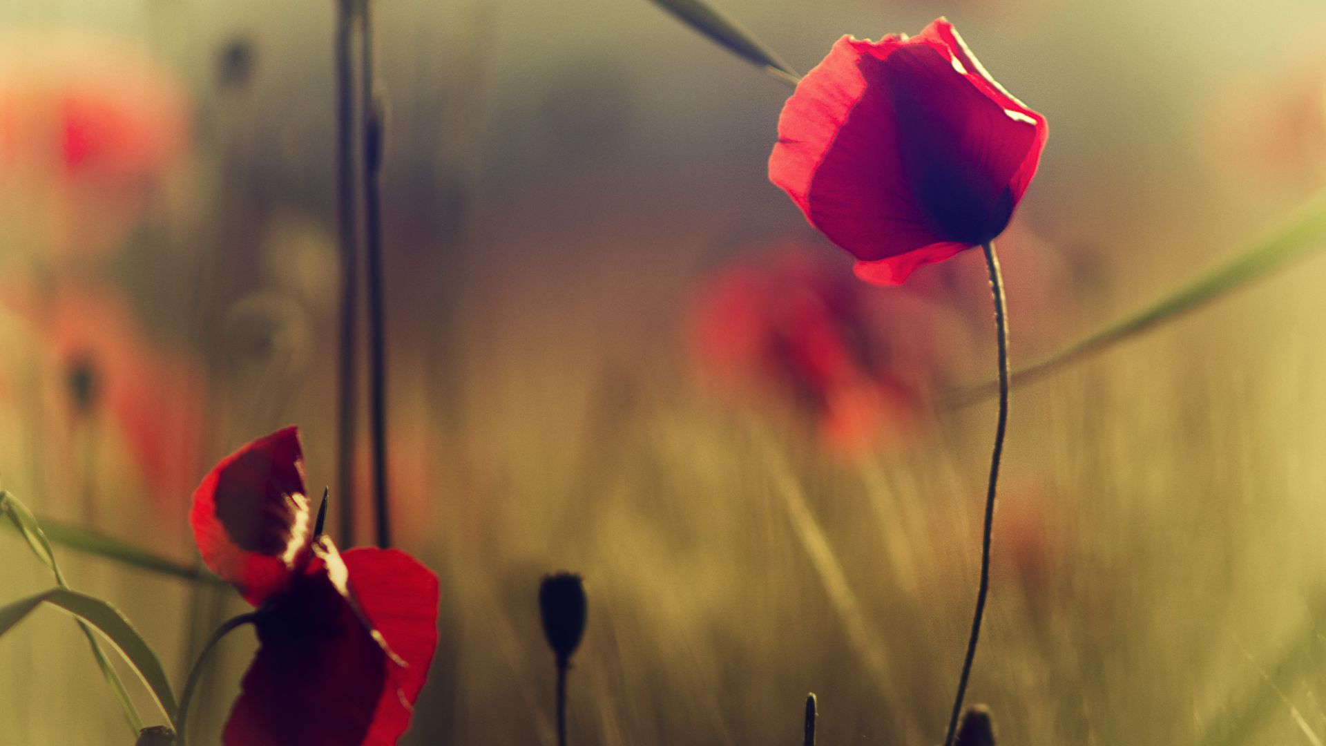 Poppy, 5k, 4k wallpaper, flowers, blur (horizontal)