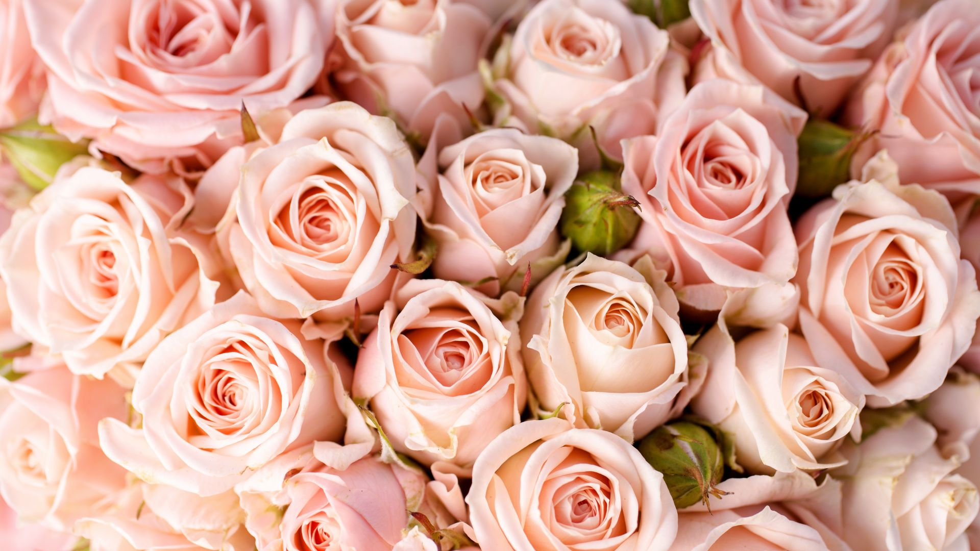 Roses, 5k, 4k wallpaper, 8k, flowers, pink (horizontal)