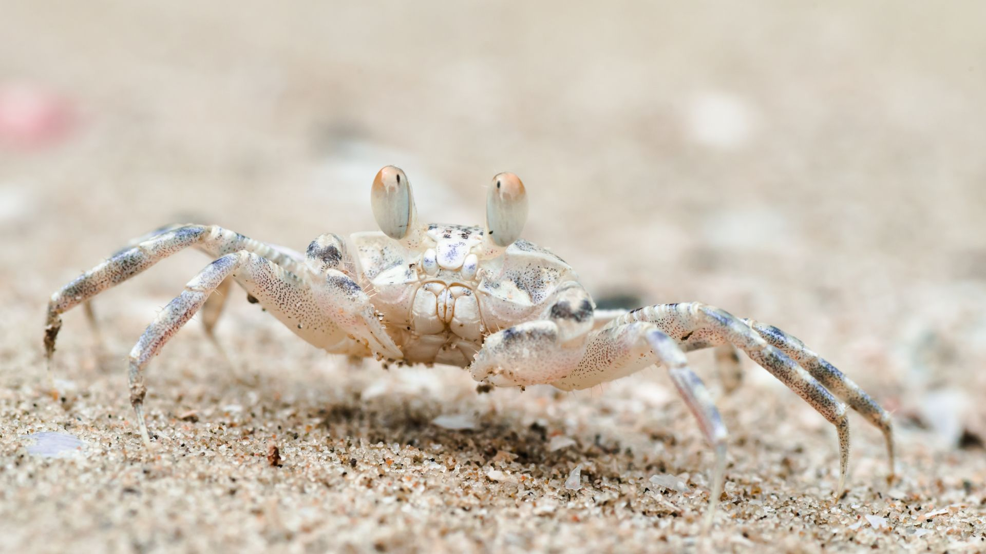 Sand bubbler crab, Khao Sam Roi Yot National Park, Thailand, travel, tourism (horizontal)