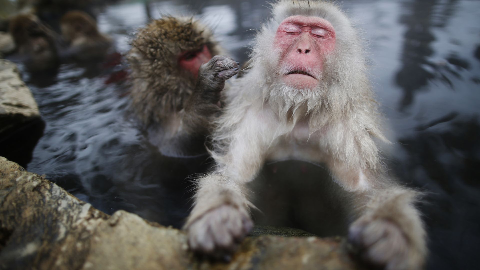 monkey, water, cute animals, funny (horizontal)