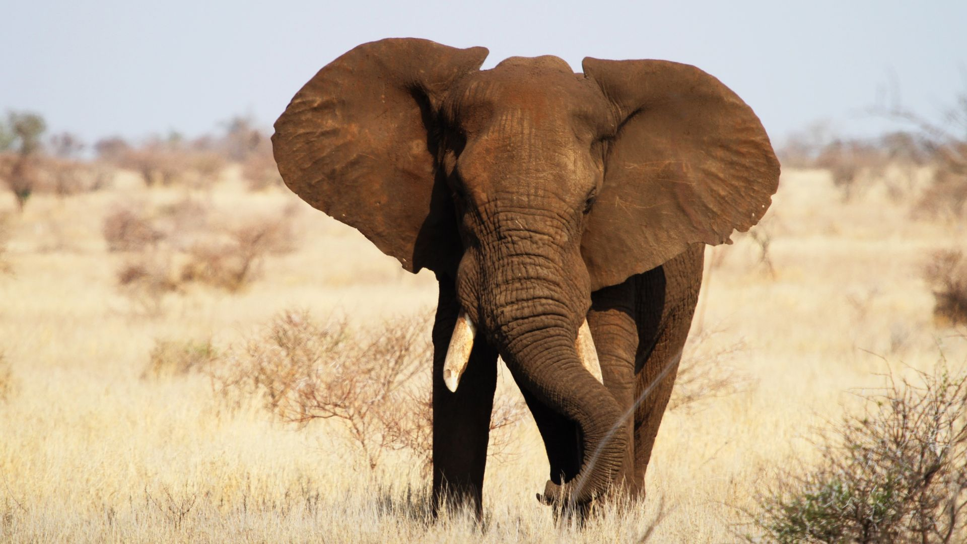 Elephant, Kruger National Park, Africa, wildlife (horizontal)