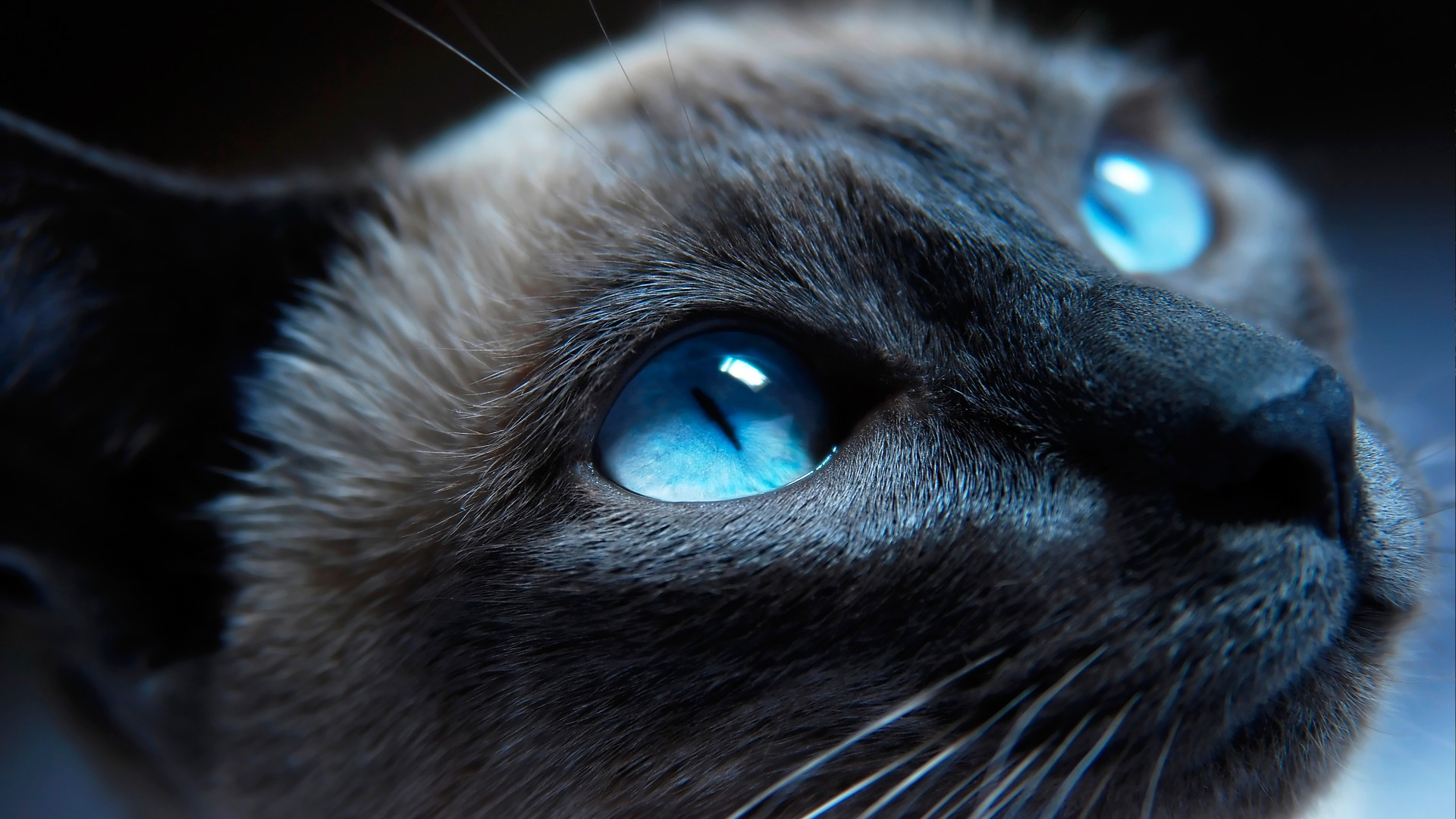 cat, kitty, siamese, blue eyes, muzzle, beautiful, close-up, portrat (horizontal)