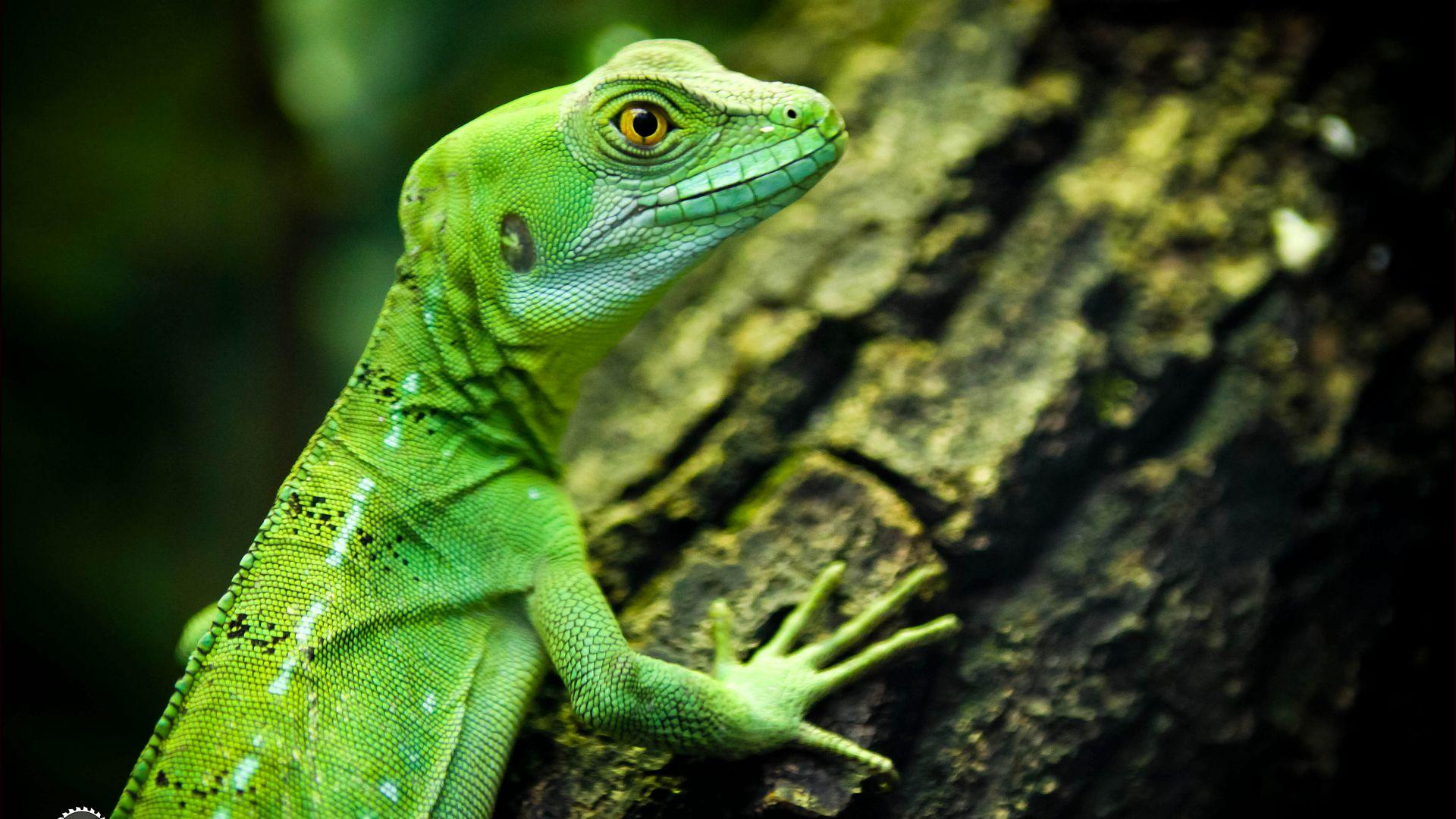 Wallpaper lizard closeup green eyes reptilies Animals 10160