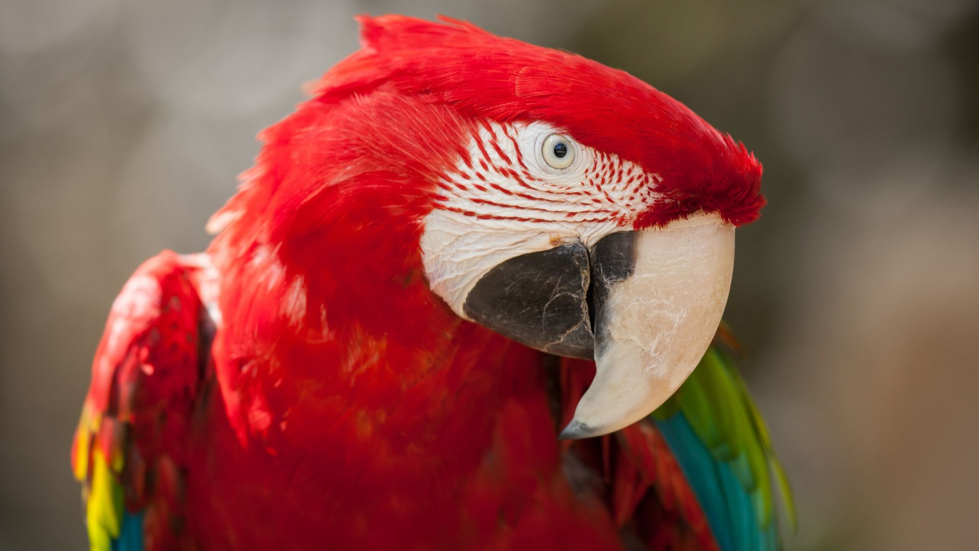Macaw parrot, tropical bird, red