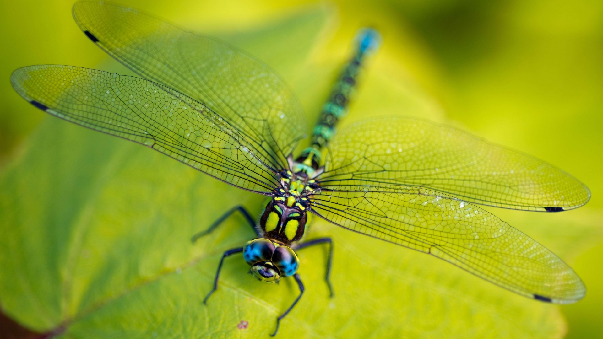 Dragonfly, leaves, wings, green, insect, macro, nature (horizontal)