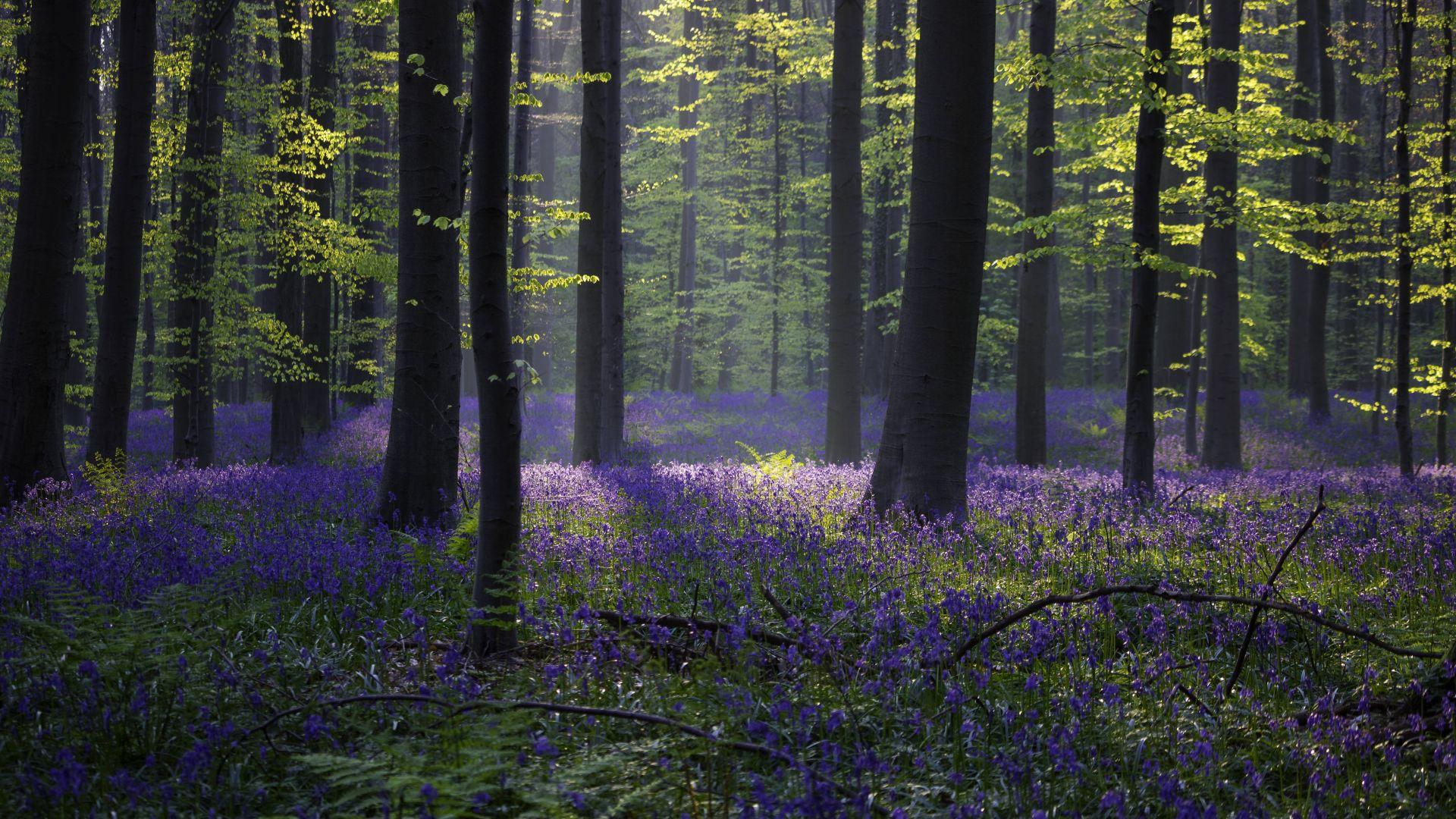 Wallpaper forest, bluebell, sunlight, spring, Halle ...