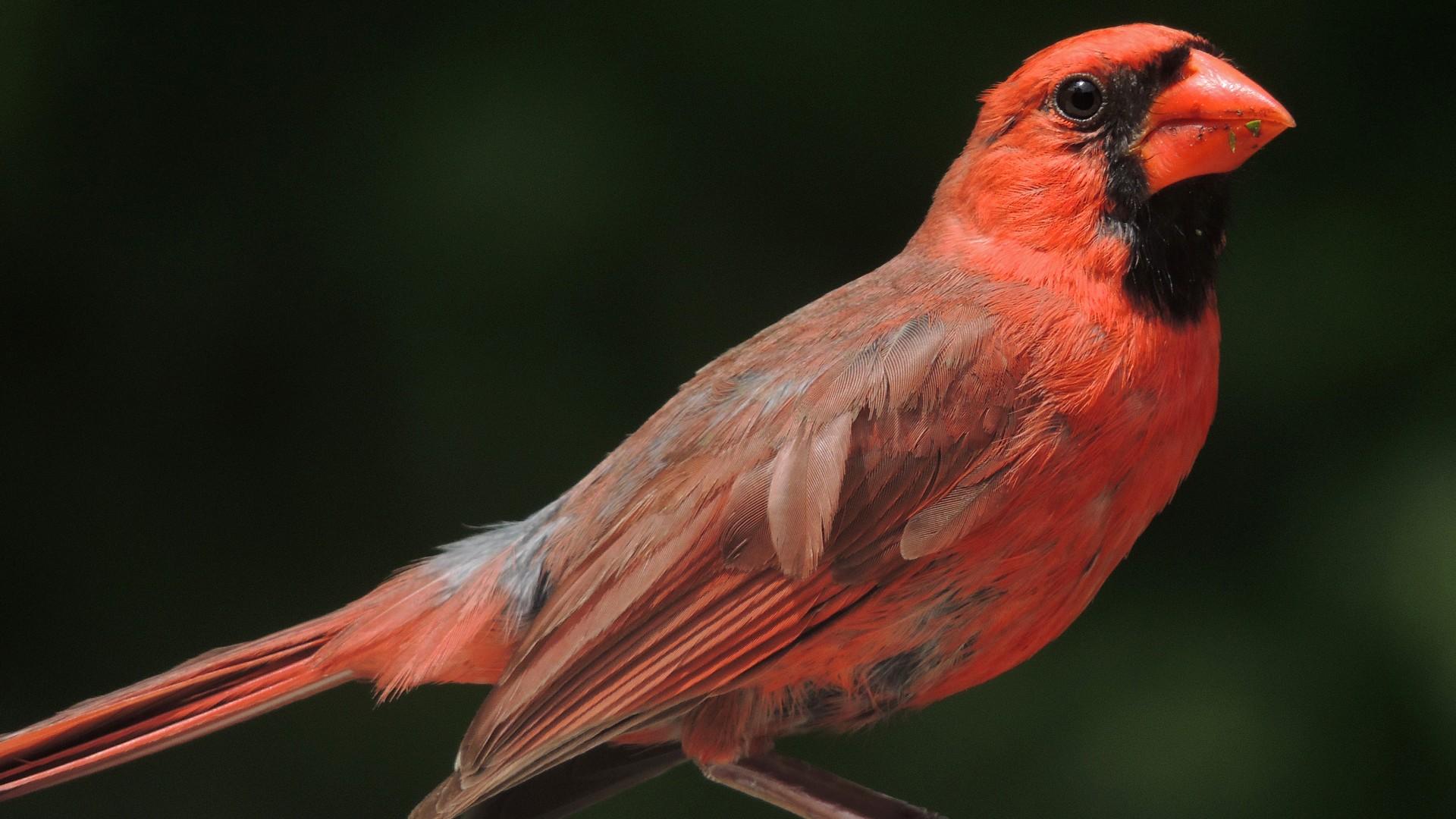 Wallpaper Northern Cardinal Columbia Red Bird Animal