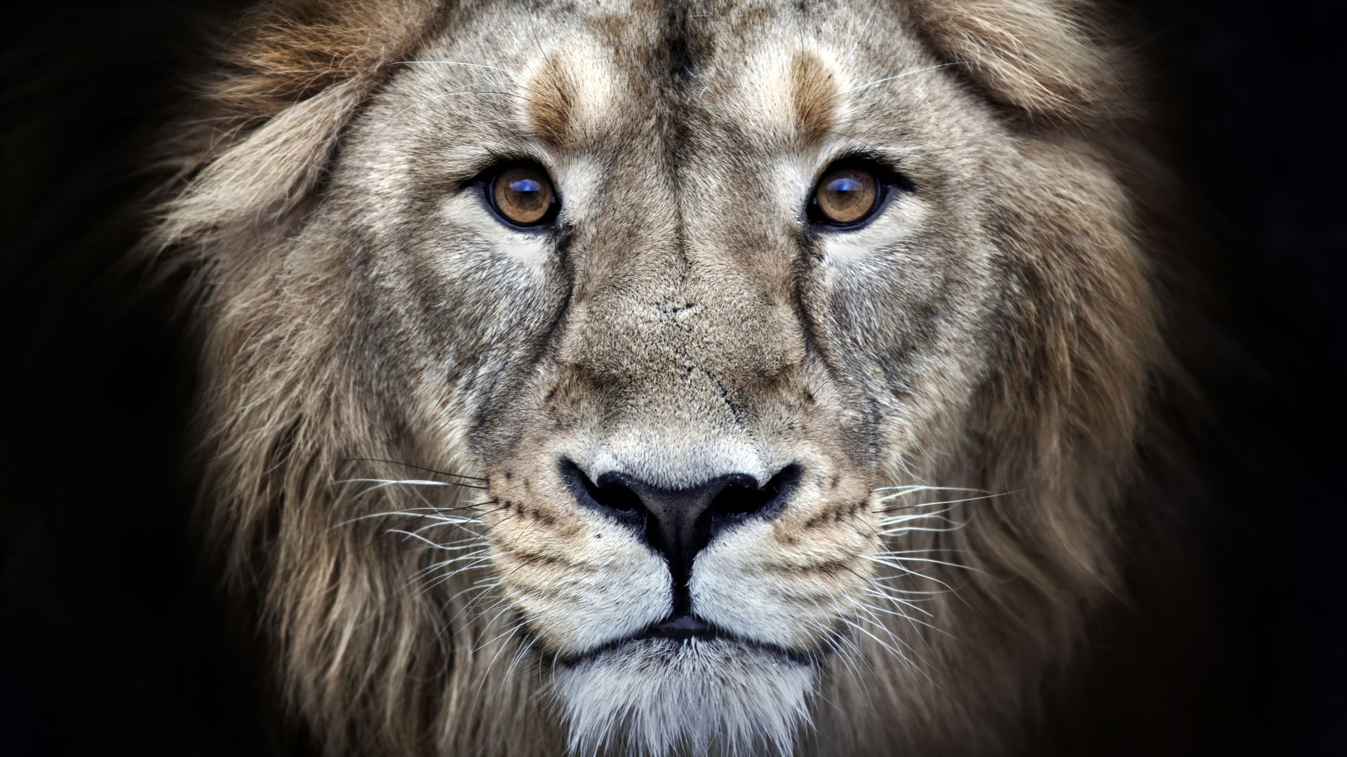 lion, 4k (horizontal)
