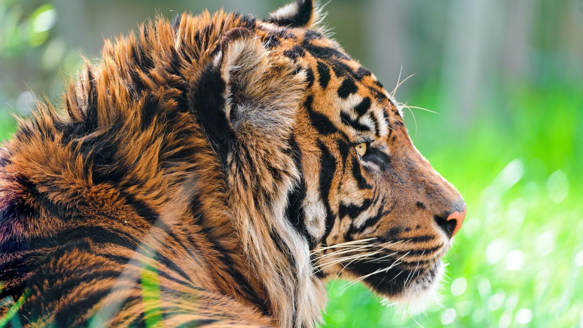 Download Wallpapers Download 2790x2547 Animals Grass: Wallpaper Tiger, 5k, 4k Wallpaper, Green Grass, Close