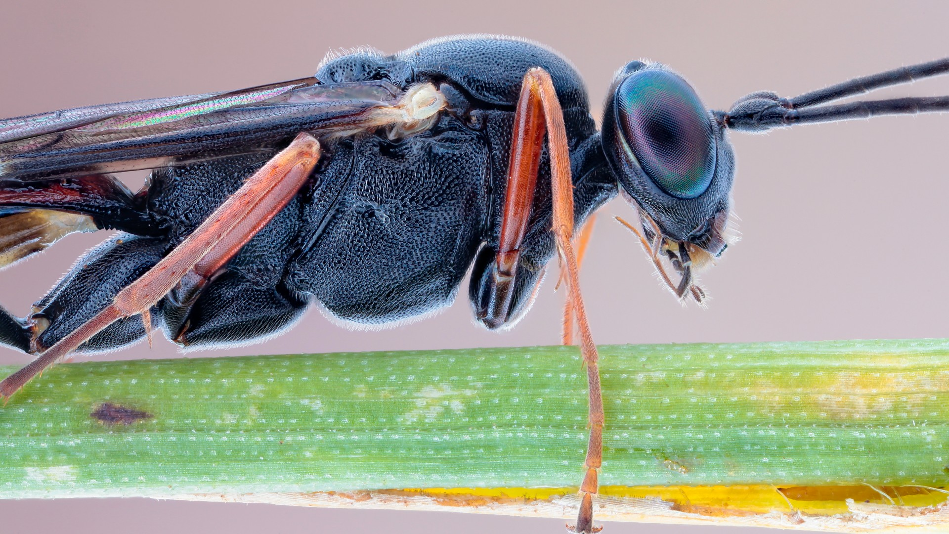 Eyes Of A Dragonfly Nature Dew Cute Macro Hd Wallpaper: Wallpaper Slender Parasite, Insects, Macro, Eyes, Black