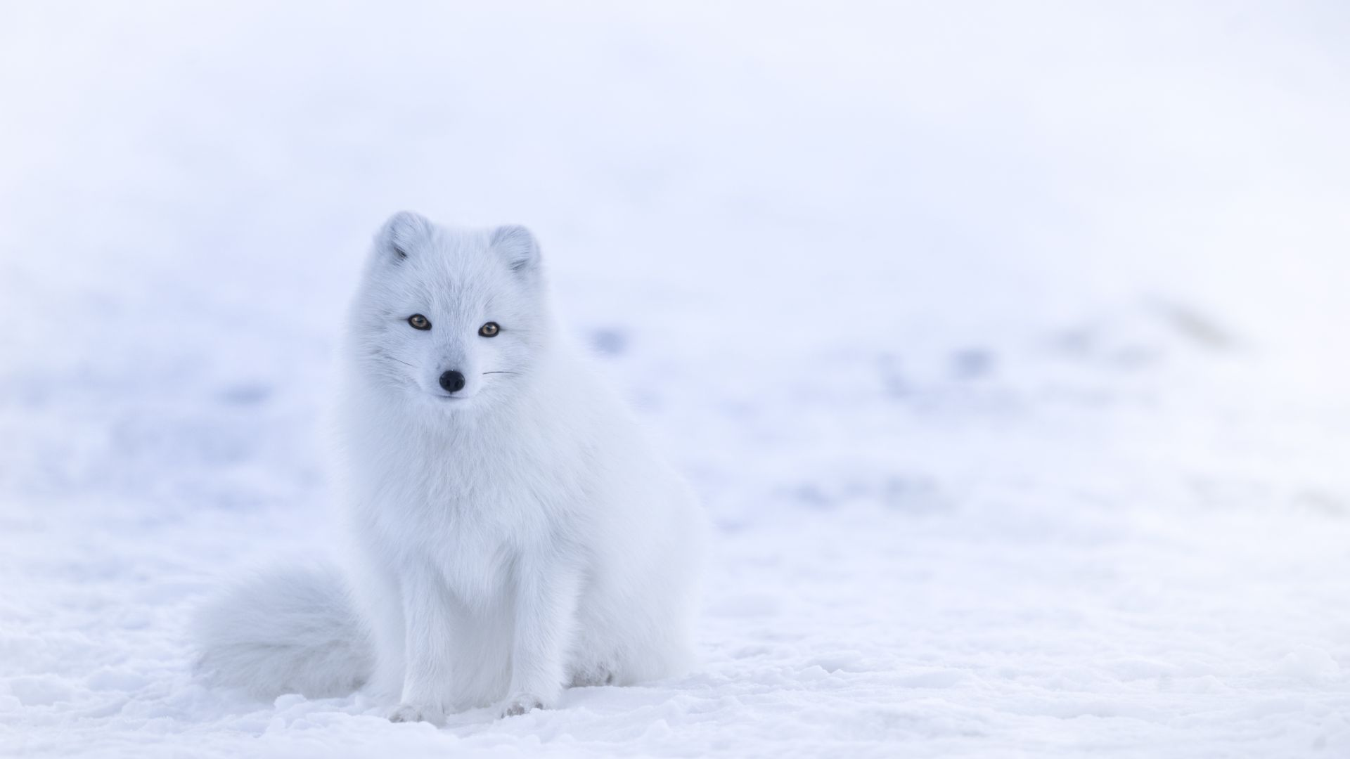 wallpaper arctic fox, cute animals, winter, snow, white, 8k, animals