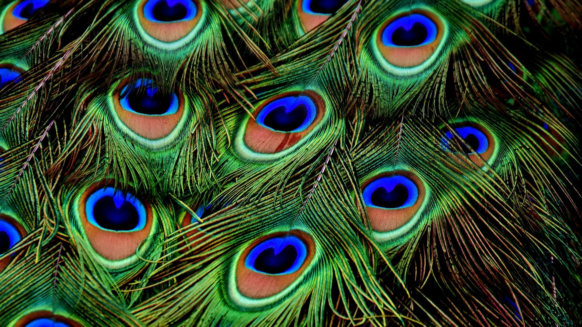 Wallpaper Peacock, Feather, 4k, Stock Images #17014