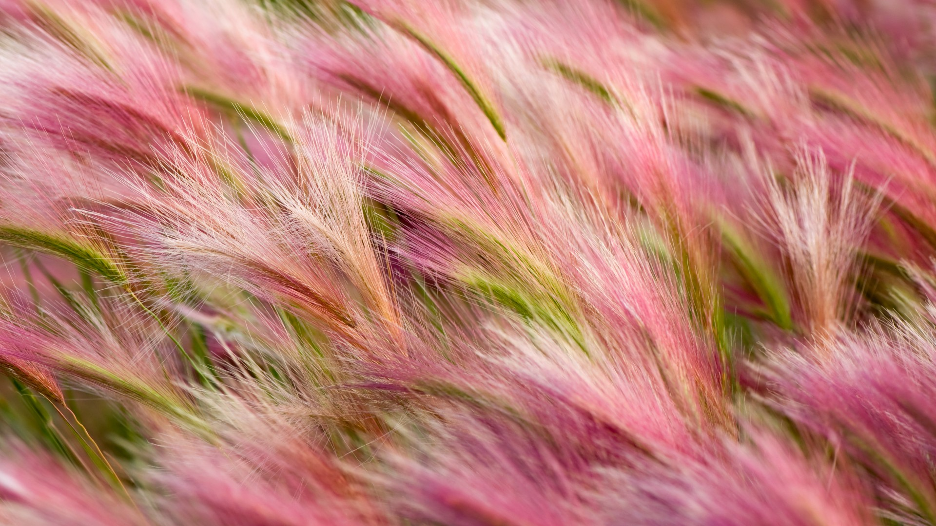 ears, 5k, 4k wallpaper, 8k, wind, pink, wheat, OSX (horizontal)