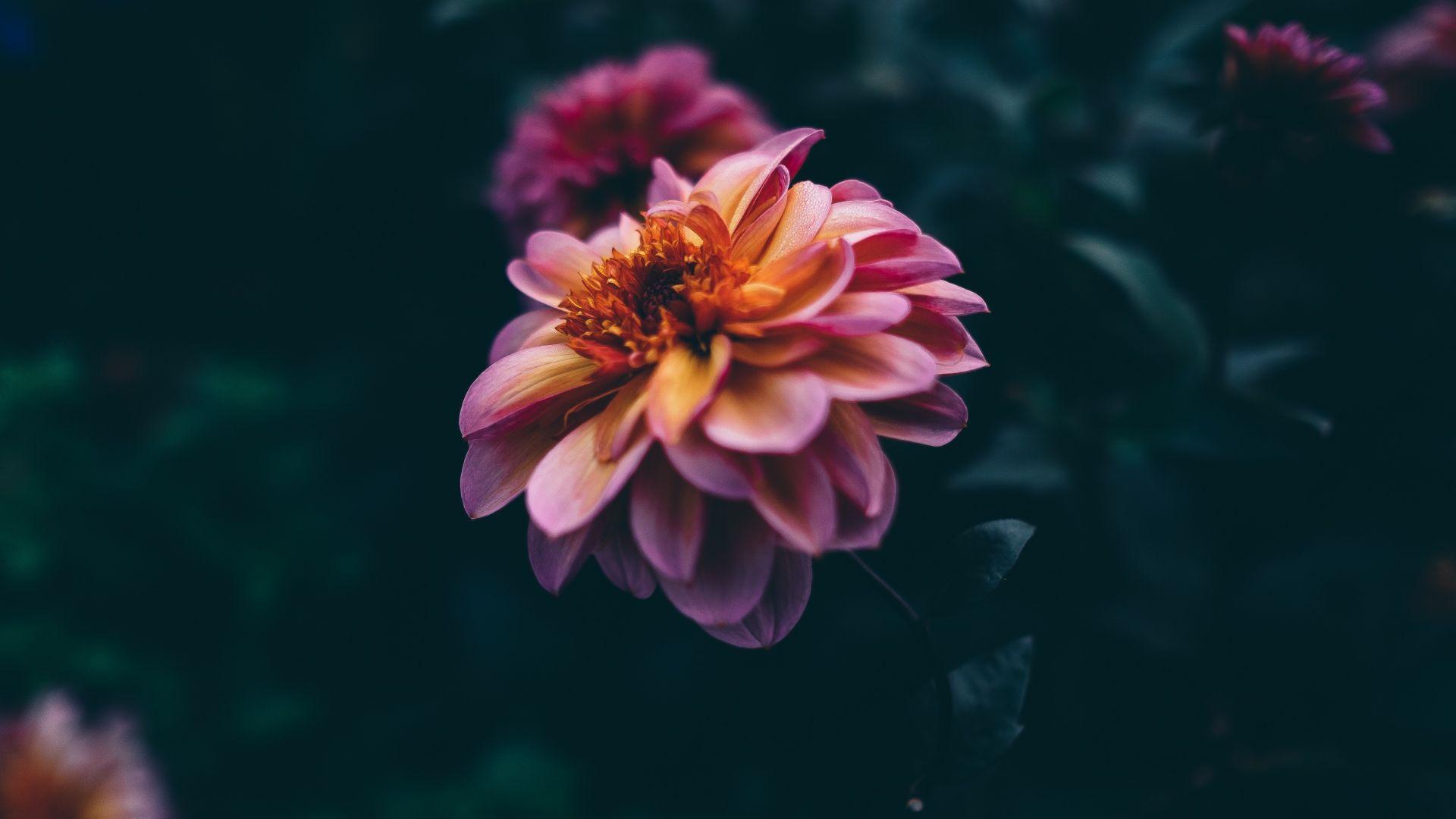 Dark Roses Hd Wallpapers: Wallpaper Flower, Pink, Purple, 4K, Nature #19707
