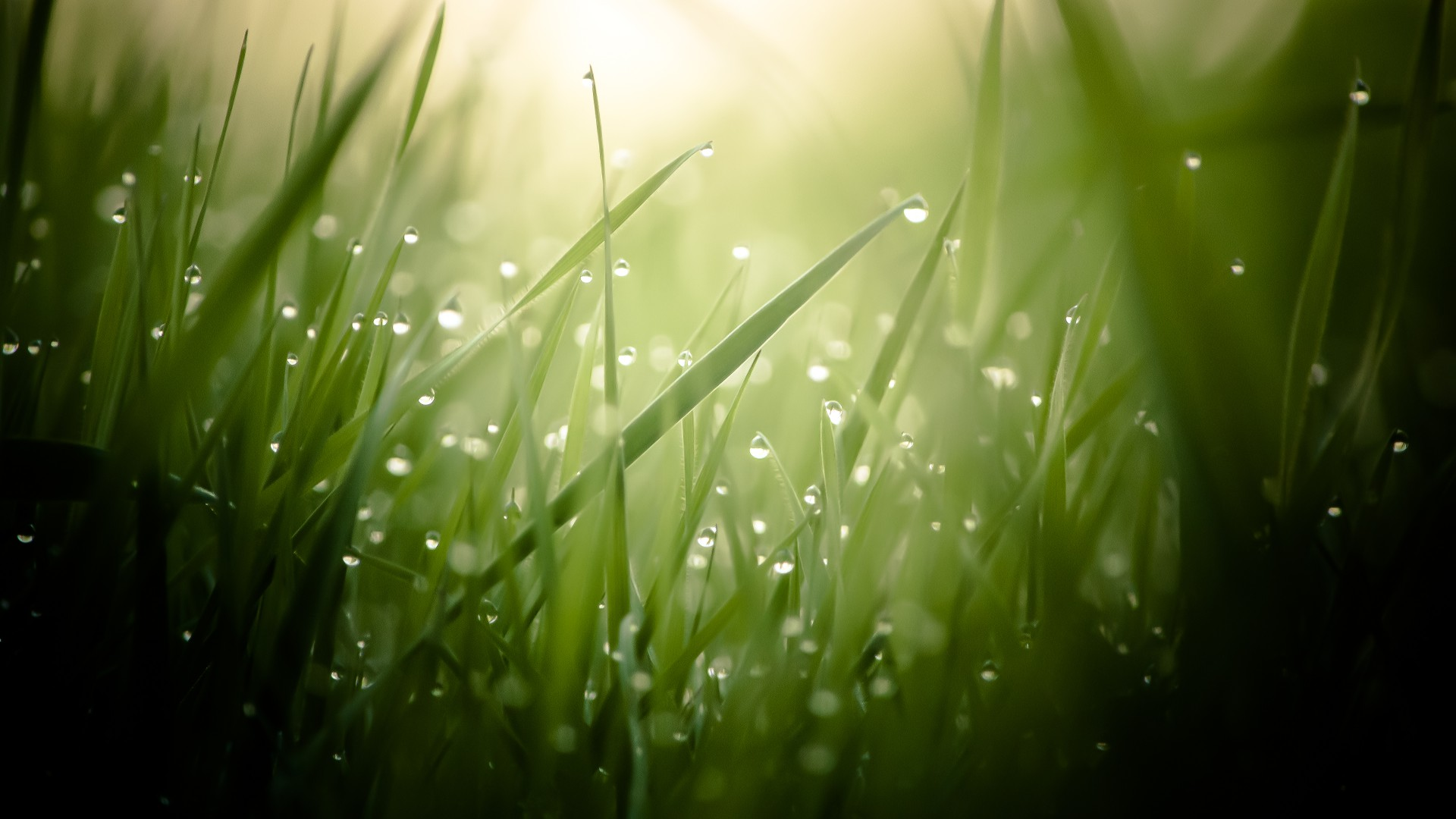 wallpaper grass, 4k, hd wallpaper, green, drops, dew, sun, rays