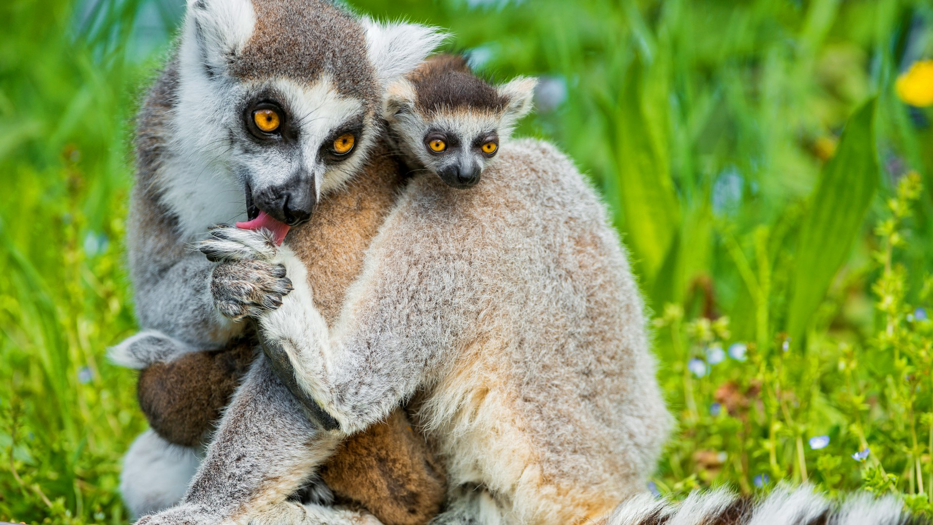 Great Lemur Wallpaper - 4023  Collection_202820.jpg