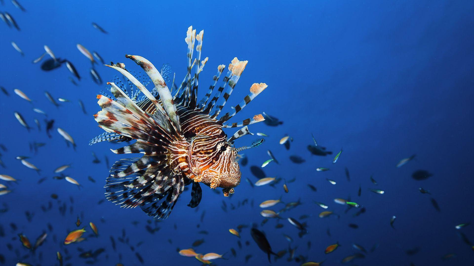 wallpaper lionfish  underwater  best diving sites  animals