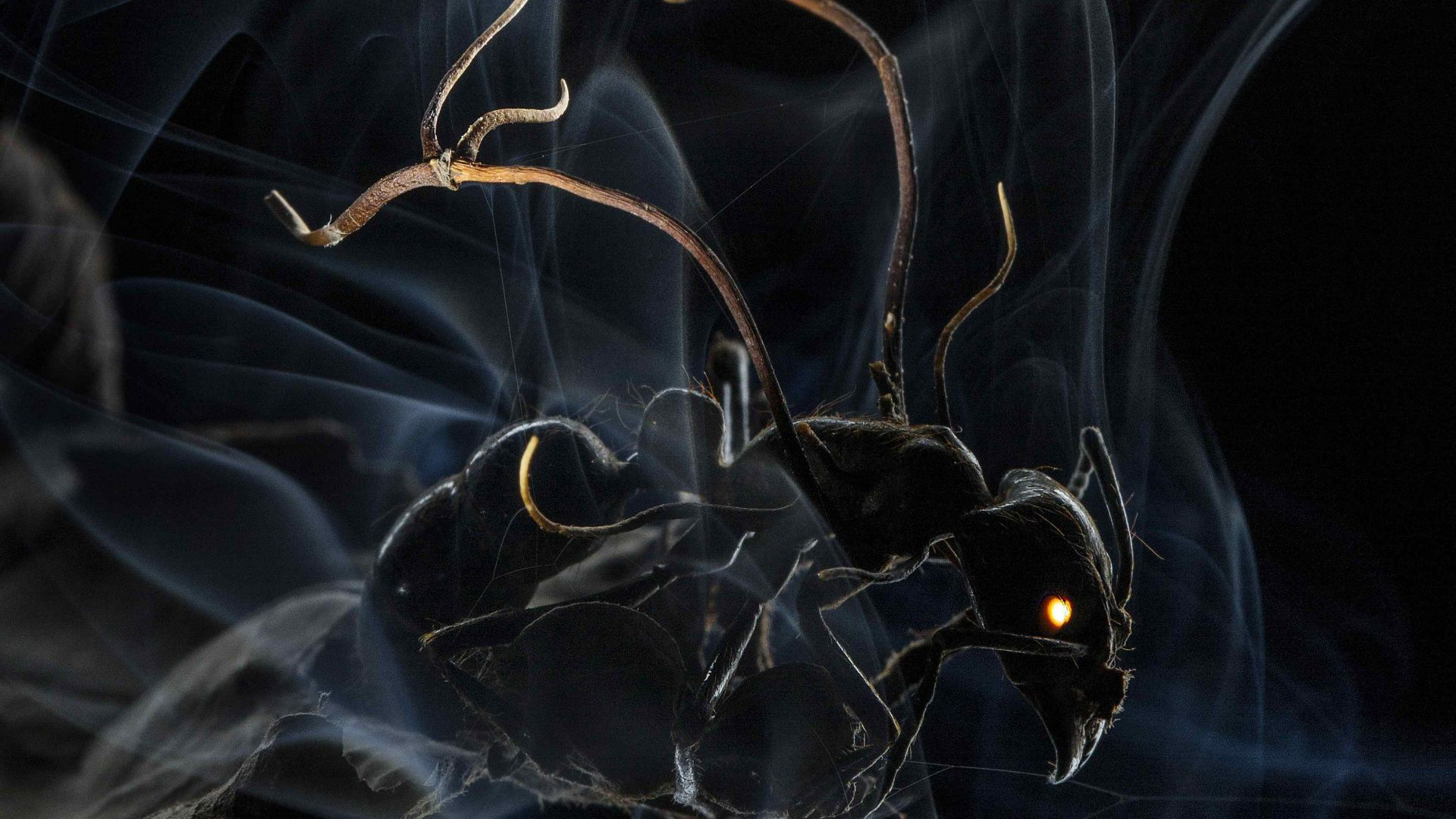 Ant, 4k, 5k wallpaper, HD, macro, smoke (horizontal)