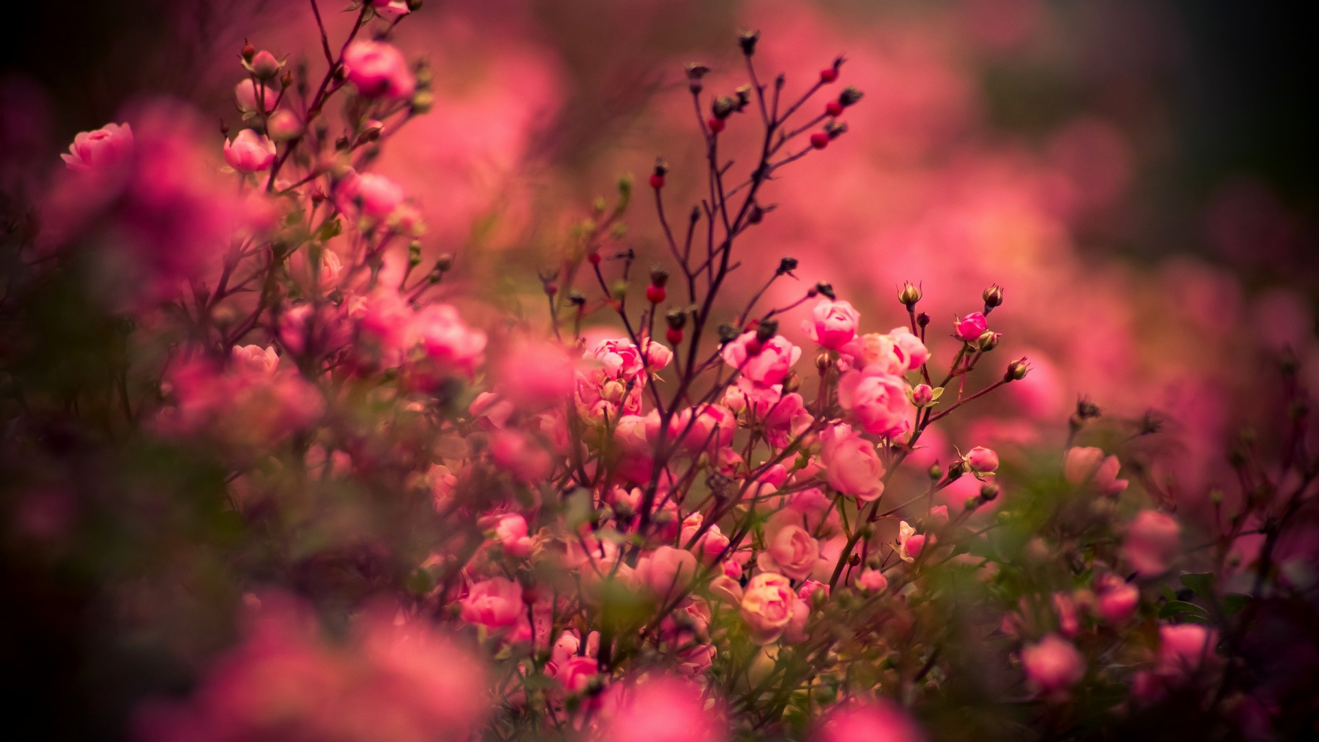 Wallpaper rose 5k 4k wallpaper pink bokeh nature 454 - Rose flowers wallpaper for mobile ...