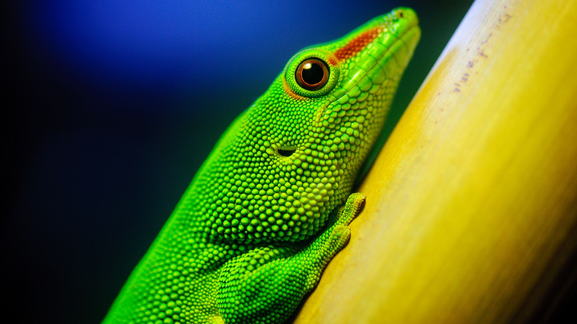 K Dragon Lizard Wallpaper Lizard, macr...