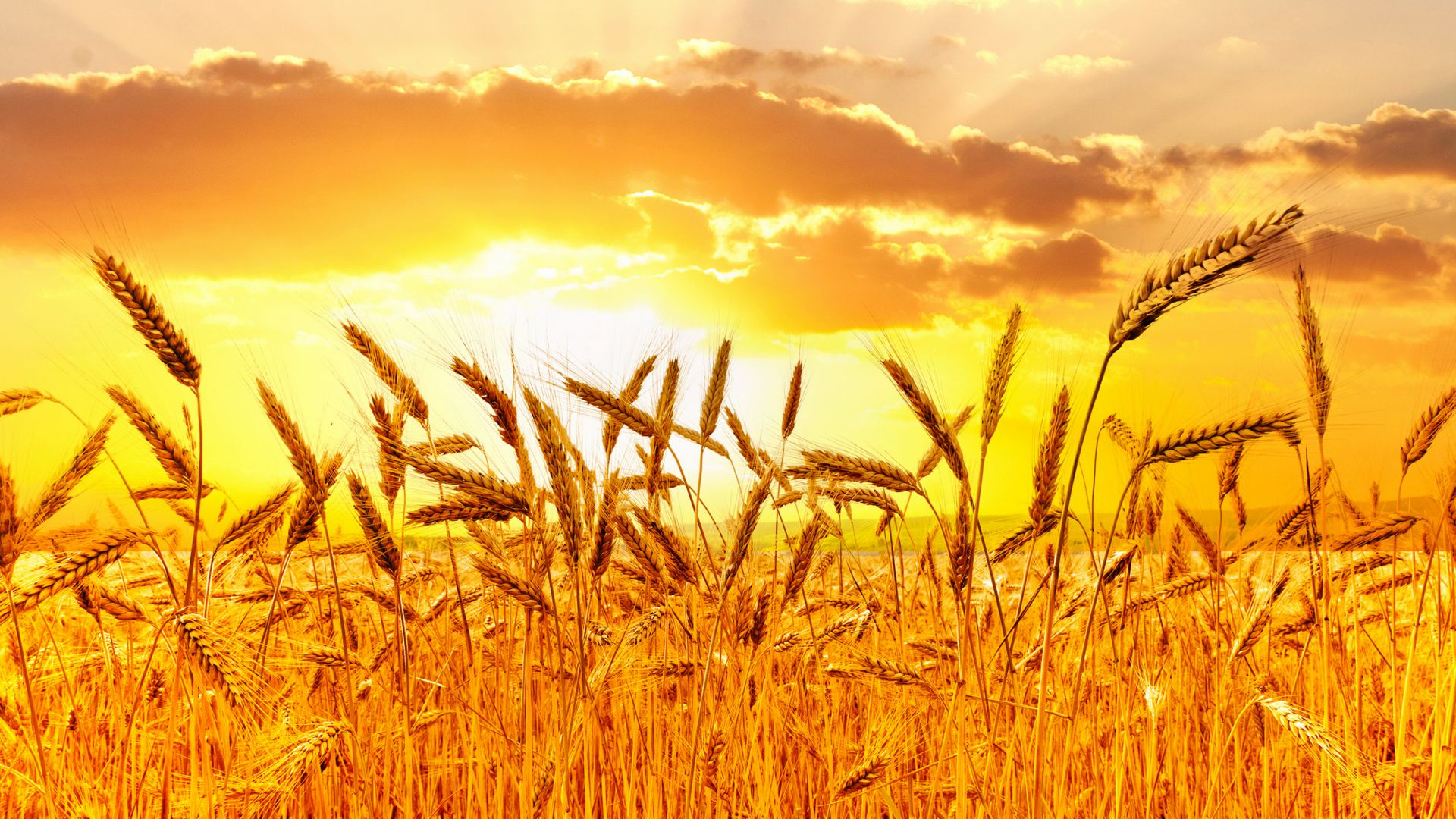 Wallpaper Field 4k Hd Wallpaper Wheat Spikes Sky: Wallpaper Wheat, 5k, 4k Wallpaper, Meadows, Sunset, Nature