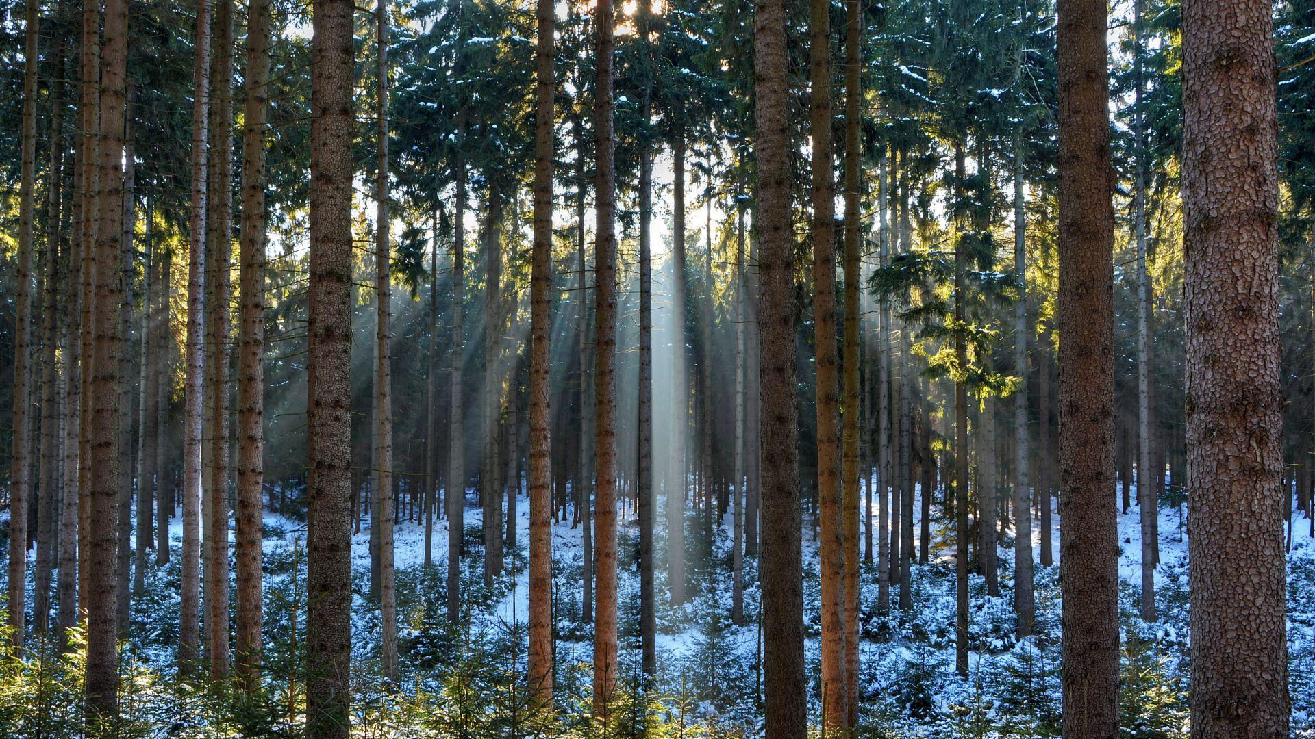 Forest 4k Quality Iphone Wallpaper: Wallpaper Pines, 5k, 4k Wallpaper, Wood, Sunlight, Sunrise