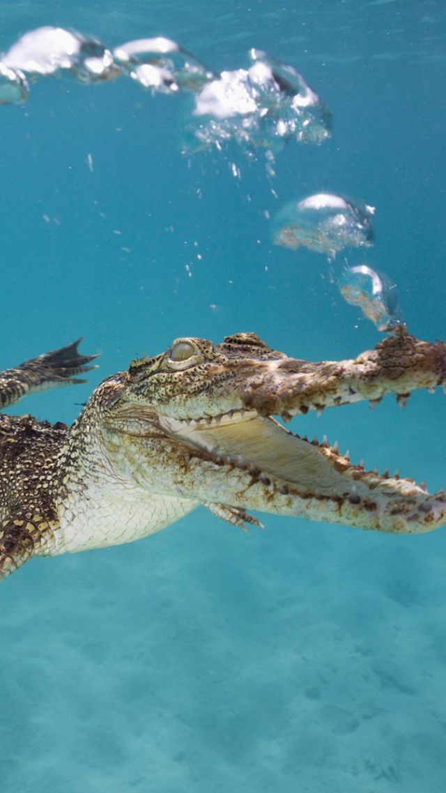 Underwater Shark Wallpaper Wallpaper Crocodile, C...