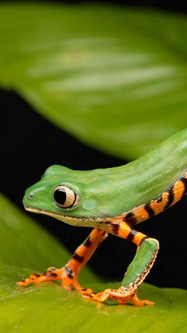 a long frog, green (vertical)