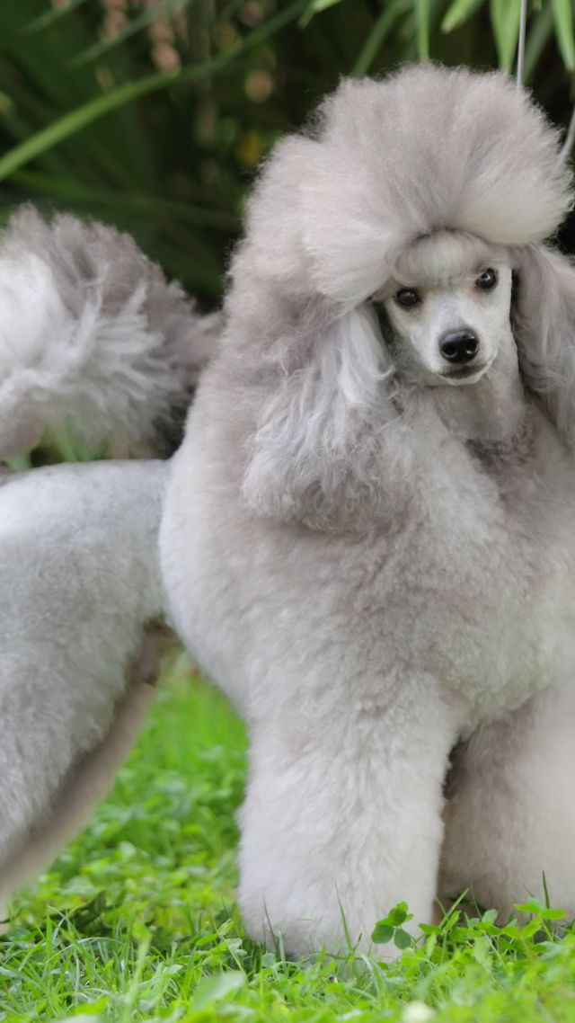 Poodle, grey, grass, cute animals (vertical)
