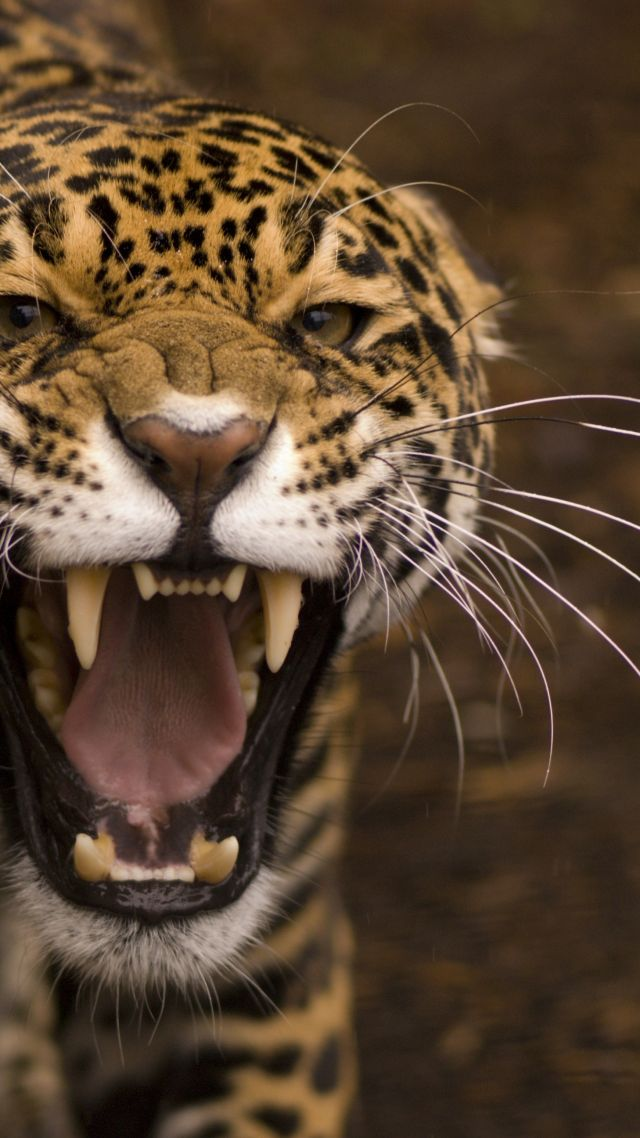 Wallpaper Jaguar Wild Cat Face Teeth Rage Anger