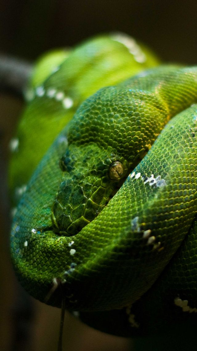 Python, Singapore, zoo, Emerald, Green, snake, eyes, close-up (vertical)