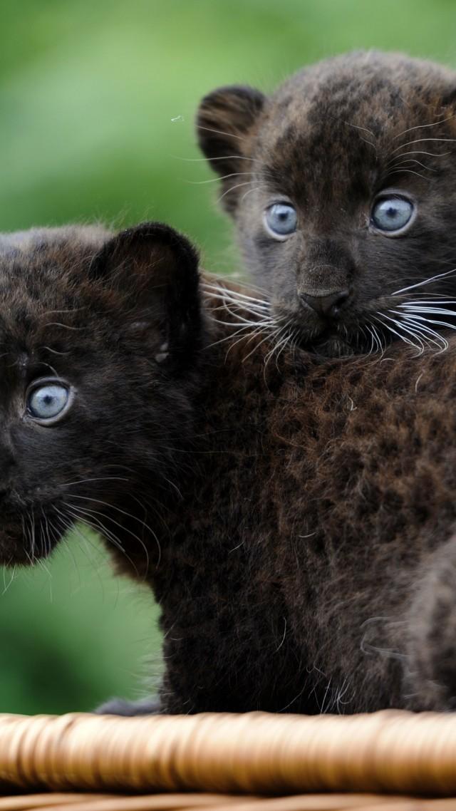 Wallpaper Panther, Cub, Cats, Kittens, black cat, fur ...