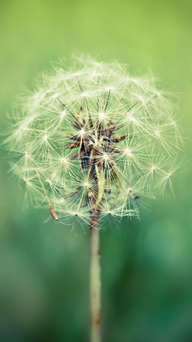 Dandelion, 4k, HD wallpaper, 8k, macro, flowers (vertical)