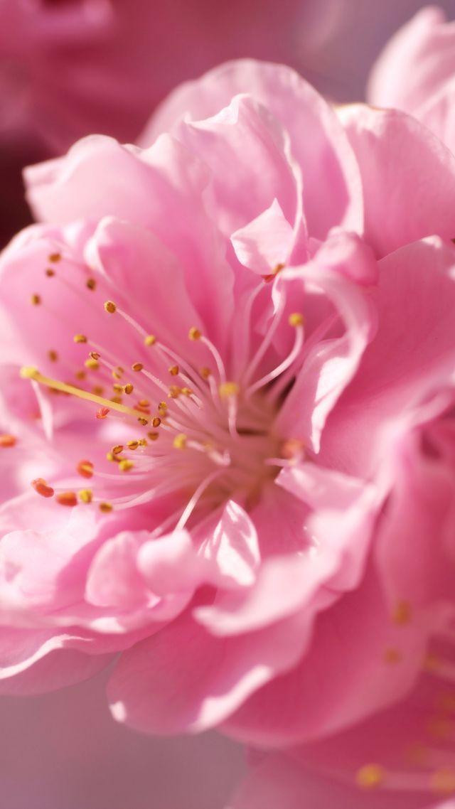 Wallpaper Sakura 4k Hd Wallpaper Pink Spring Flower Nature 10300