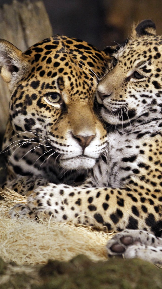 little jaguar, young jaguar, wild, cat, face (vertical)