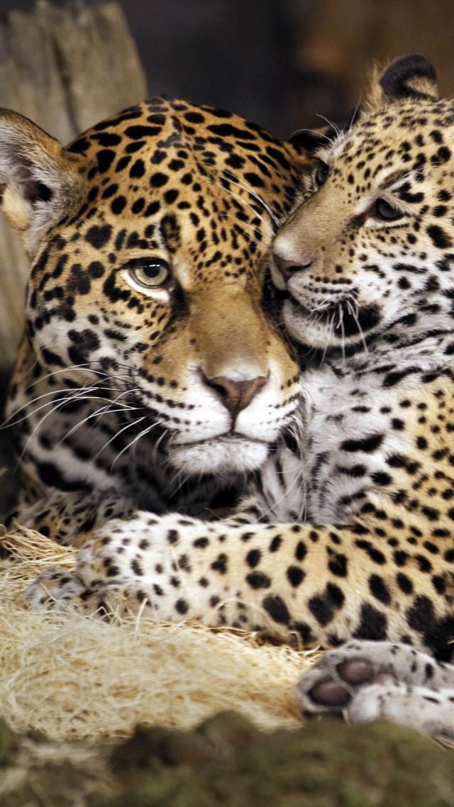 Wallpaper little jaguar, young jaguar, wild, cat, face ...