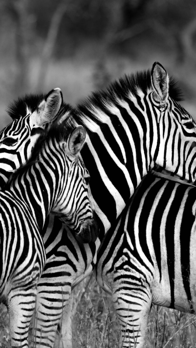 Zebra black white vertical