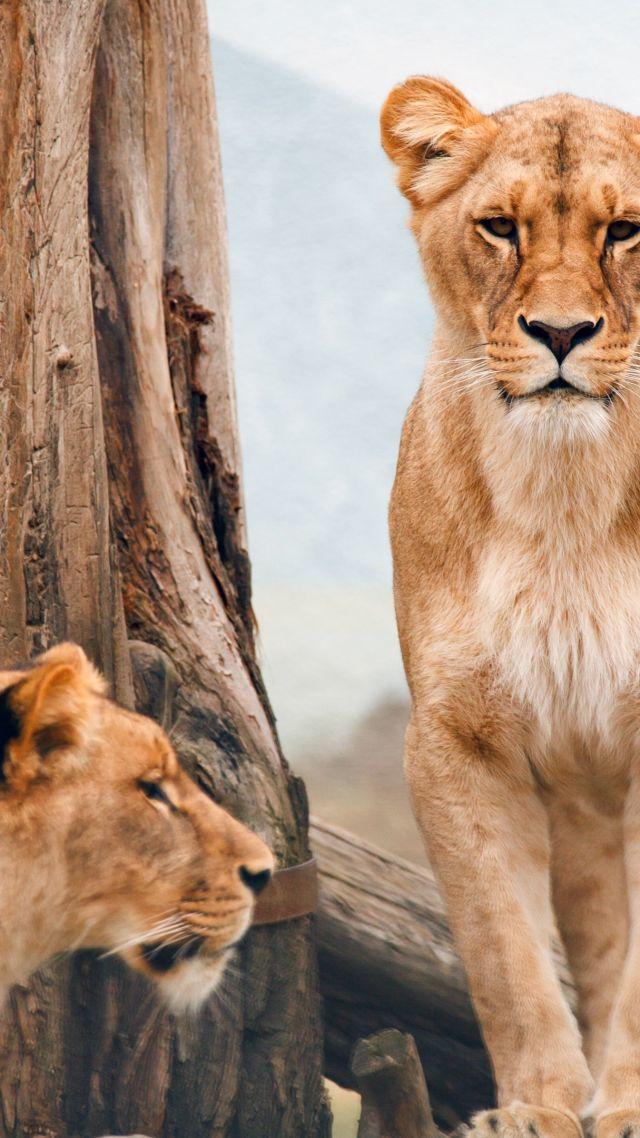 African Lioness Nature Wild Animals Vertical