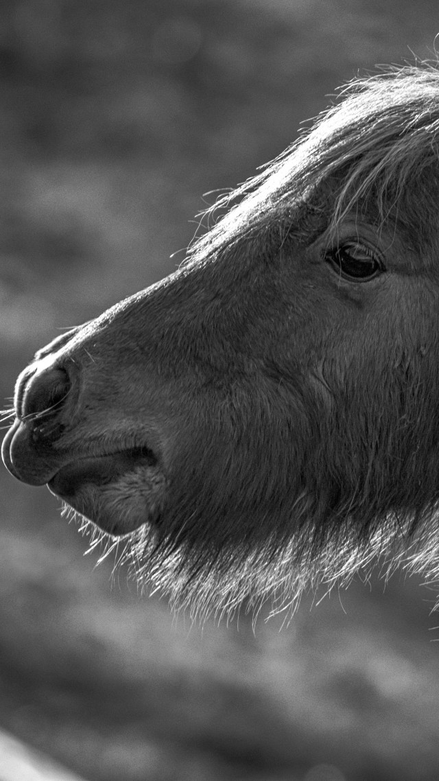 Horse, Pony, black and white (vertical)