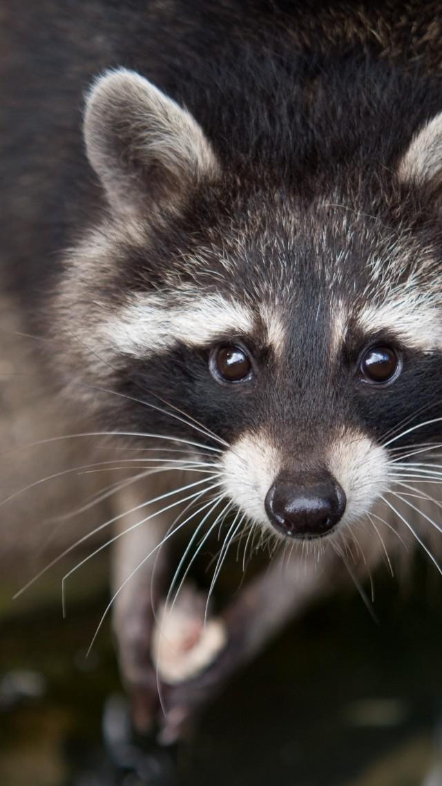 Wallpaper Raccoon Eyes Look Fur Close Up Nature
