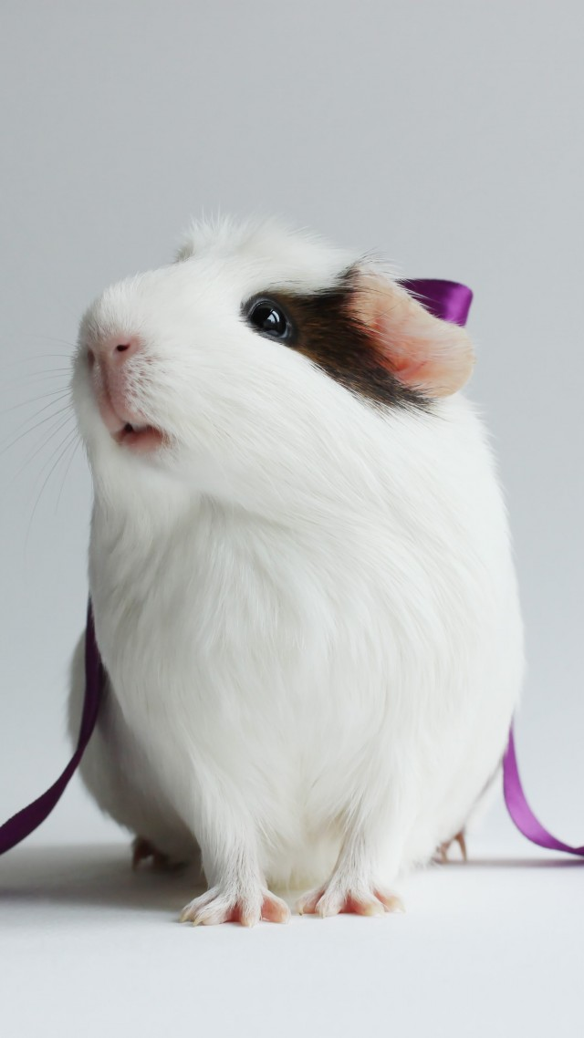 hamster, cute hamster, white, close-up, purple, ribbon, white background (vertical)