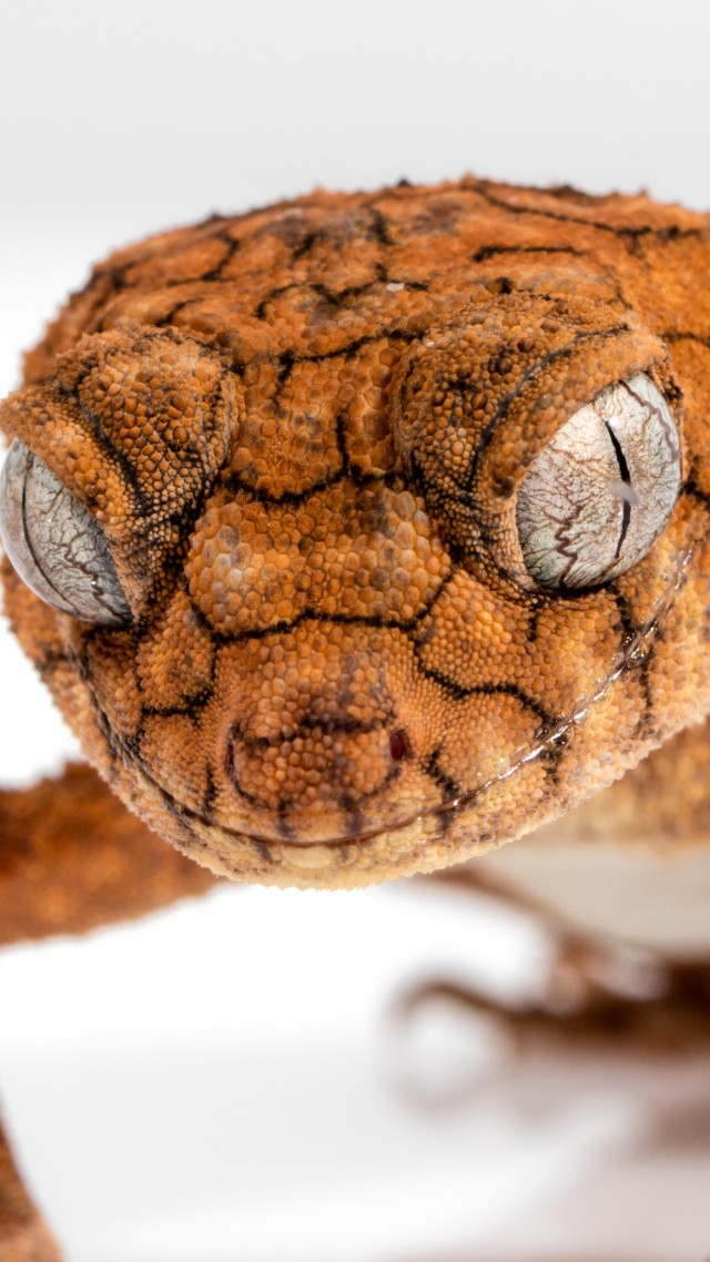 Gecko, Caledonian Crested Gecko, reptile, lizard, close-up, eyes, animals (vertical)