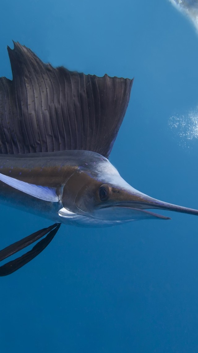 Pacific sailfish, Thailand, Indian ocean, Pacific ocean, tropical regions, diving, tourism, blue sea, fish, diving, tourism, World's best diving sites (vertical)