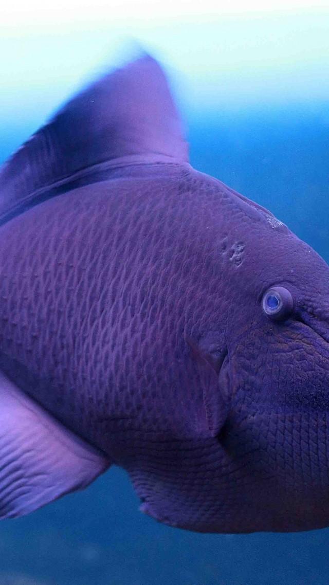 Wallpaper Grey Triggerfish Atlantic Nova Scotia Argentina Mediterranean Sea West Coast Of Africa Diving Tourism Purple Fish Underwater Blue
