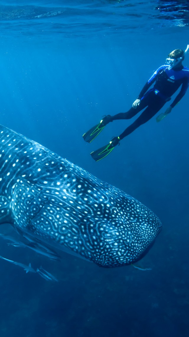 Whale shark, shark, atlantic, indian, pacific, ocean, water, underwater, blue, diving, tourism, fish, World's best diving sites (vertical)