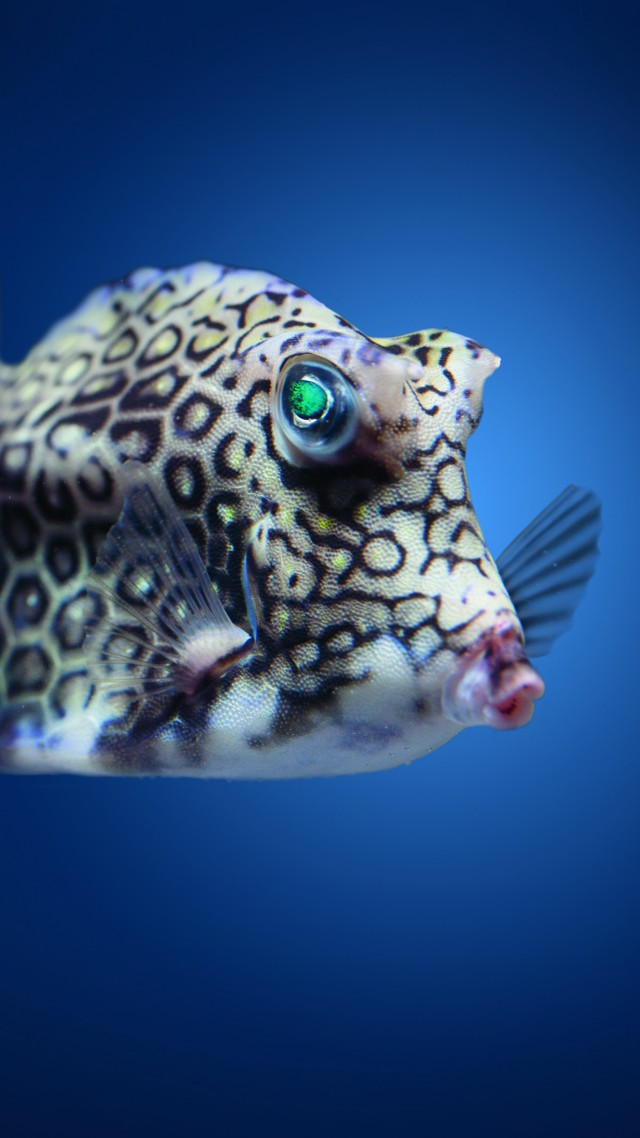 Boxfish, cowfish, Atlantic, Indian, Pacific, ocean, underwater, fish, blue water, diving, tourism, World's best diving sites (vertical)