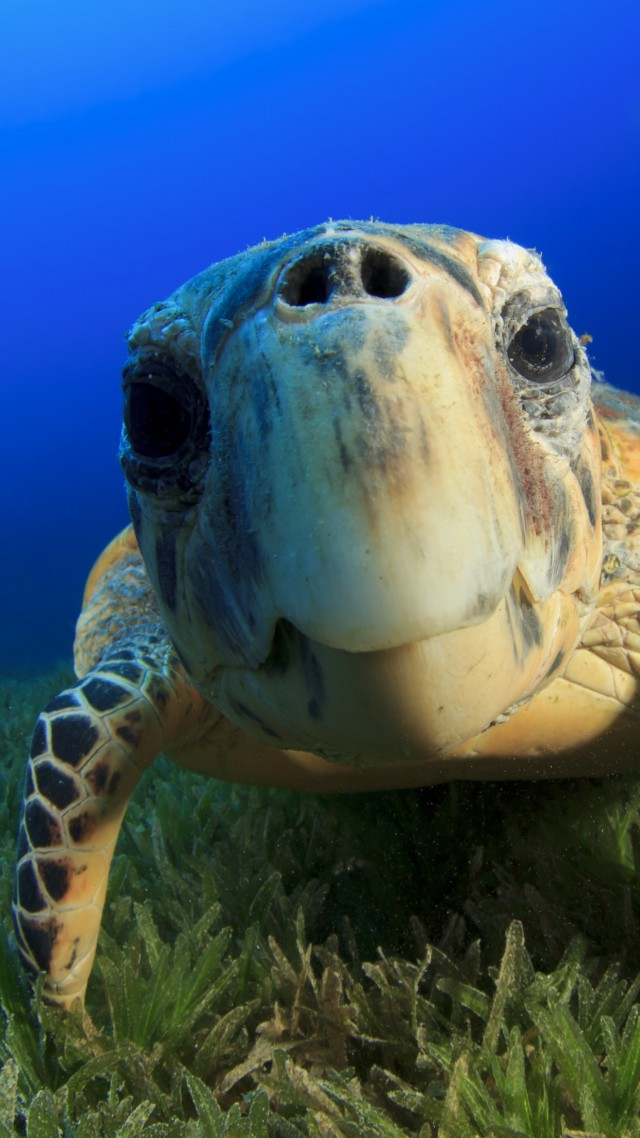 Hawksbill Sea Turtle, Bahamas, Atlantic, Pacific, Indian, Ocean, sealife, underwater, funny, diving, tourism, blue, World's best diving sites (vertical)