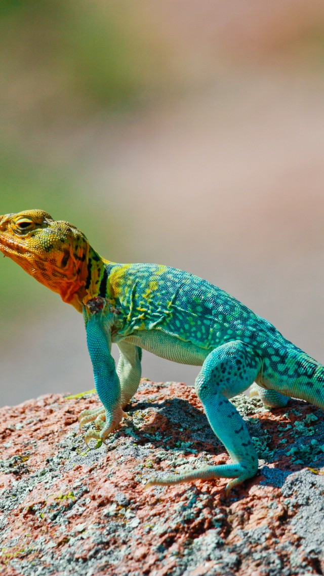 Crotaphytus collaris, Mexico, Lizard, colorful, stone, nature, tourism (vertical)