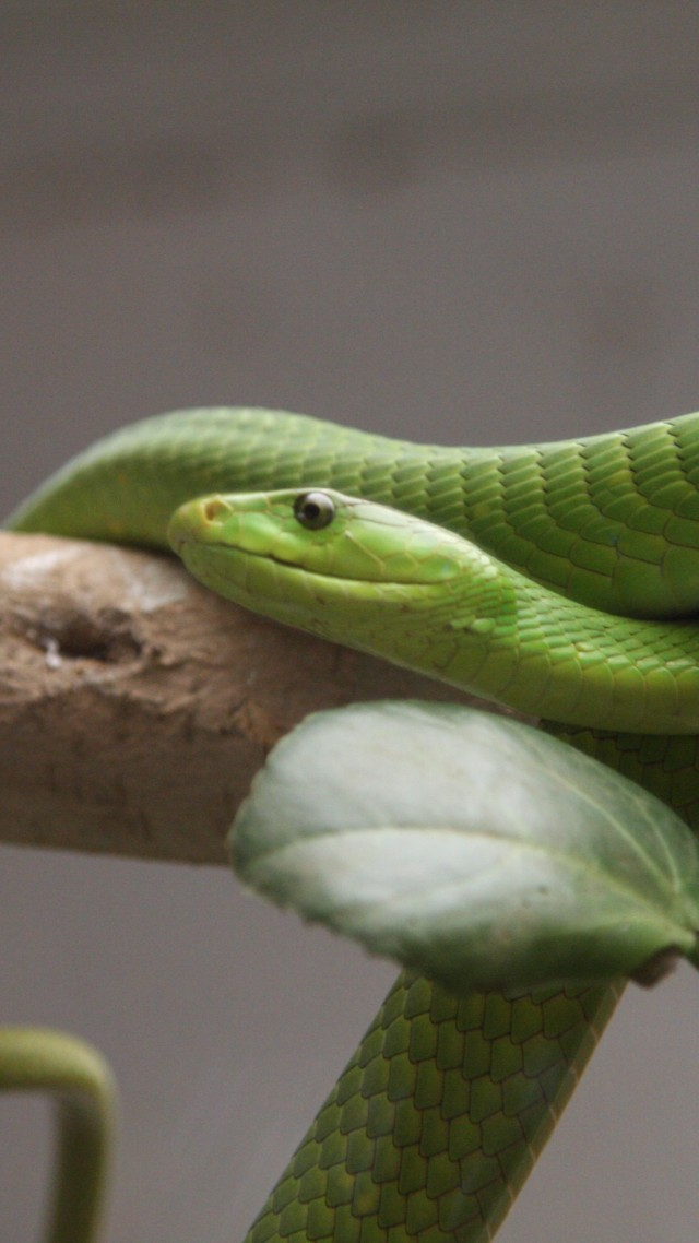 Green mamba, snake, leaves, New Orlean, LA, USA, zoo, travel, tourism, tree (vertical)